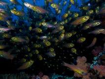 Σχολείο των μικρών βασικών ψαριών που κολυμπούν προς τη κάμερα στοκ εικόνα με δικαίωμα ελεύθερης χρήσης
