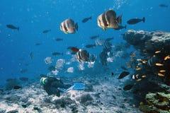 Σχολείο των ψαριών ροπάλων με το δύτη Στοκ Εικόνα
