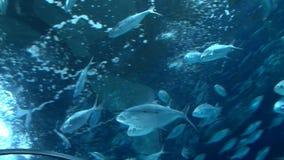 Σχολείο των ψαριών στο υποβρύχιο ενυδρείο, χαμηλή γωνία φιλμ μικρού μήκους