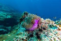 Σχολείο των ψαριών στο anemone θάλασσας Στοκ εικόνες με δικαίωμα ελεύθερης χρήσης