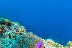 Σχολείο των ψαριών στο anemone θάλασσας Στοκ Εικόνες