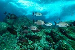 Σχολείο των ψαριών τυμπανιστών στοκ εικόνα με δικαίωμα ελεύθερης χρήσης