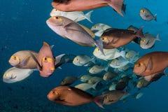 Σχολείο των ψαριών χειρούργων στο μπλε Στοκ Εικόνες