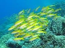 Σχολείο των ψαριών Στοκ εικόνες με δικαίωμα ελεύθερης χρήσης