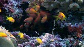 Σχολικό κοπάδι των ζωηρόχρωμων ψαριών στη σούπα θάλασσας στο σκόπελο απόθεμα βίντεο