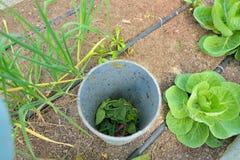 Σωλήνας λιπάσματος στον οργανικό φυτικό κήπο στοκ εικόνα με δικαίωμα ελεύθερης χρήσης