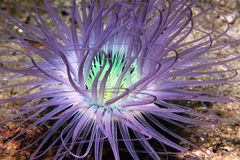 σωλήνας anemone Στοκ Εικόνες