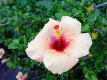Σωμόν Hibiscus λουλούδι Στοκ φωτογραφίες με δικαίωμα ελεύθερης χρήσης