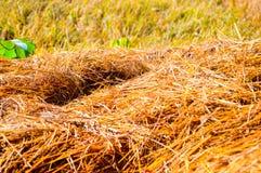 Σωρός σανού στους τομείς ρυζιού Στοκ Εικόνες