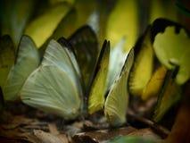 Σωρός της κίτρινης πεταλούδας ποικιλίας στο έδαφος στοκ φωτογραφίες με δικαίωμα ελεύθερης χρήσης