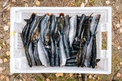 Σωρός της πέρκας ψαριών ποταμών, λούτσοι, whitefish Στοκ φωτογραφία με δικαίωμα ελεύθερης χρήσης