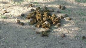 Σωρός του λιπάσματος αλόγων σε ένα αγρόκτημα αλόγων απόθεμα βίντεο