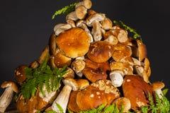 Σωρός του φρέσκου υποβάθρου porcini mushroomsblack Στοκ Φωτογραφίες