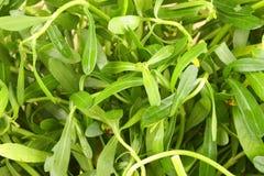 Σωρός του monnieri Bacopa, πικρό φύλλο, Waterhyssop, Brahmi, θυμάρι-βγαλμένο φύλλα gratiola, Στοκ φωτογραφίες με δικαίωμα ελεύθερης χρήσης