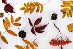 Σωρός των φύλλων φθινοπώρου, καρύδια κώνων πεύκων πέρα από το άσπρο υπόβαθρο όμορφα ζωηρόχρωμα σύνορα φύλλων συλλογής από το φθιν Στοκ Φωτογραφία