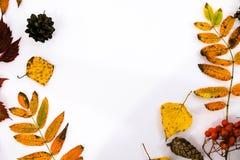 Σωρός των φύλλων φθινοπώρου, καρύδια κώνων πεύκων πέρα από το άσπρο υπόβαθρο όμορφα ζωηρόχρωμα σύνορα φύλλων συλλογής από το φθιν Στοκ Εικόνες