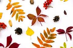Σωρός των φύλλων φθινοπώρου, καρύδια κώνων πεύκων πέρα από το άσπρο υπόβαθρο όμορφα ζωηρόχρωμα σύνορα φύλλων συλλογής από το φθιν Στοκ Εικόνα