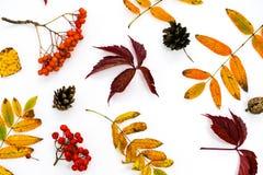 Σωρός των φύλλων φθινοπώρου, καρύδια κώνων πεύκων πέρα από το άσπρο υπόβαθρο όμορφα ζωηρόχρωμα σύνορα φύλλων συλλογής από το φθιν Στοκ εικόνα με δικαίωμα ελεύθερης χρήσης