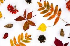 Σωρός των φύλλων φθινοπώρου, καρύδια κώνων πεύκων πέρα από το άσπρο υπόβαθρο όμορφα ζωηρόχρωμα σύνορα φύλλων συλλογής από το φθιν Στοκ φωτογραφία με δικαίωμα ελεύθερης χρήσης