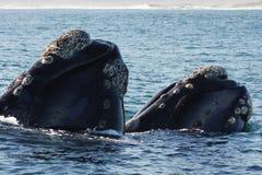 σωστή νότια φάλαινα ζευγών Στοκ Εικόνα