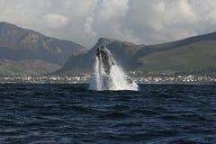 σωστή νότια φάλαινα παραβία&s Στοκ φωτογραφία με δικαίωμα ελεύθερης χρήσης