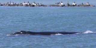 Σωστή φάλαινα Βόρειου Ατλαντικού - κουρευτής ζώων Στοκ φωτογραφία με δικαίωμα ελεύθερης χρήσης