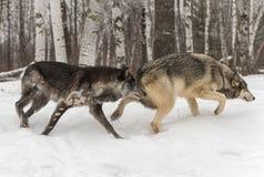 Σωστός χειμώνας Slulk Λύκου Canis δύο γκρίζος λύκων στοκ εικόνα