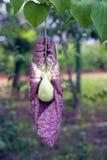 Σωλήνας βραζιλιάνου Ολλανδού λουλουδιών Στοκ εικόνα με δικαίωμα ελεύθερης χρήσης