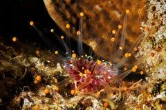 Σωλήνας Anemone Στοκ Φωτογραφία