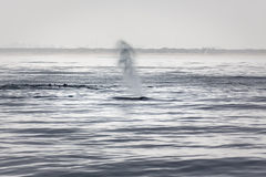 Σωλήνες φαλαινών Humpback Στοκ φωτογραφία με δικαίωμα ελεύθερης χρήσης