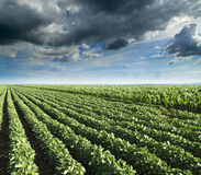 Σόγια δίπλα στον τομέα καλαμποκιού που ωριμάζει στην εποχή άνοιξης, γεωργικό τοπίο Στοκ εικόνες με δικαίωμα ελεύθερης χρήσης
