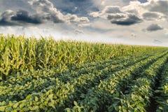 Σόγια που ωριμάζει δίπλα στον τομέα αραβόσιτου καλαμποκιού στην εποχή άνοιξης, γεωργικό τοπίο Στοκ Εικόνες