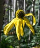 Σόλο κίτρινο λουλούδι στο δύσκολο εθνικό πάρκο βουνών Στοκ εικόνα με δικαίωμα ελεύθερης χρήσης