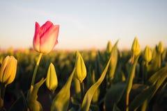 Σόλο ρόδινες κάμψεις τουλιπών που ανοίγουν το πρώτο γεωργικό αγρόκτημα λουλουδιών στοκ φωτογραφίες