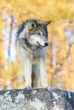 Σόλο λύκος στοκ φωτογραφία με δικαίωμα ελεύθερης χρήσης