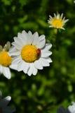 Σόλο ladybug σερνμένος πέρα από τη μικρή άσπρη μαργαρίτα Στοκ φωτογραφίες με δικαίωμα ελεύθερης χρήσης
