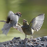 Σύγκρουση πουλιών Στοκ Φωτογραφία