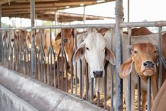 Σύγχρονος αγροτικός σταύλος Αρμέγοντας αγελάδες Οι αγελάδες σπιτιών χρησιμοποιούνται στις θέσεις, συνήθως αγροτικές, χωρίς κατάλλ στοκ εικόνες