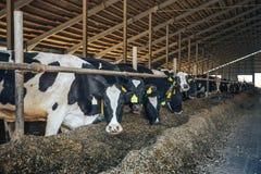 Σύγχρονος αγροτικός σταύλος με τις αγελάδες που τρώνε το σανό Στοκ φωτογραφία με δικαίωμα ελεύθερης χρήσης