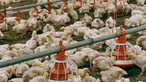 Σύγχρονο αγρόκτημα για τα αυξανόμενα κοτόπουλα σχαρών απόθεμα βίντεο