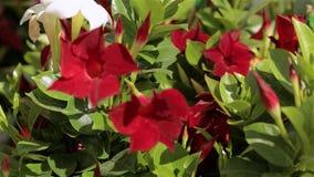 Σύγχρονο θερμοκήπιο με τα ανθίζοντας λουλούδια Πολλά κόκκινα λουλούδια στο θερμοκήπιο Θερμοκήπιο με μια στέγη γυαλιού απόθεμα βίντεο