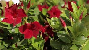 Σύγχρονο θερμοκήπιο με τα ανθίζοντας λουλούδια Πολλά κόκκινα λουλούδια στο θερμοκήπιο Θερμοκήπιο με μια στέγη γυαλιού φιλμ μικρού μήκους
