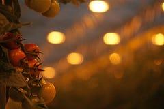 Σύγχρονο θερμοκήπιο tomatoe με το τεχνητό φως αύξησης installat Στοκ Φωτογραφίες