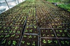 Σύγχρονο υδροπονικό θερμοκήπιο ή θερμοκήπιο, καλλιέργεια και ανάπτυξη των διακοσμητικών εγκαταστάσεων και των λουλουδιών για την  στοκ εικόνες
