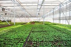 Σύγχρονο υδροπονικό θερμοκήπιο με τον έλεγχο κλίματος, καλλιέργεια των σπορών, λουλούδια Βιομηχανική δενδροκηποκομία στοκ εικόνα με δικαίωμα ελεύθερης χρήσης