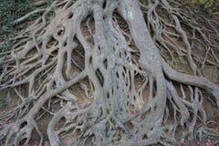 Σύγχυση των εκτεθειμένων ριζών δέντρων στοκ φωτογραφία
