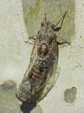 Σύζευξη δύο cicadas σε ένα πλατάνι - καλοκαίρι στο νότο της Γαλλίας Στοκ εικόνες με δικαίωμα ελεύθερης χρήσης
