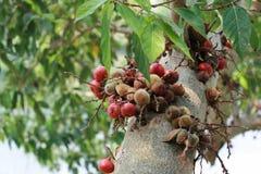 Σύκα στο δέντρο σύκων Στοκ εικόνα με δικαίωμα ελεύθερης χρήσης