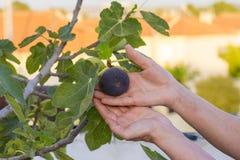 Σύκα στο δέντρο σύκων Στοκ φωτογραφία με δικαίωμα ελεύθερης χρήσης