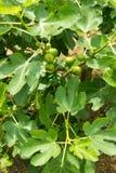 Σύκα στο δέντρο Στοκ φωτογραφία με δικαίωμα ελεύθερης χρήσης